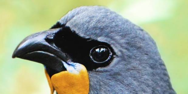 "The South Island Kokako Charitable Trust says a $5000 reward offered to anyone who can confirm the bird is still alive has generated 40 reports of possible encounters. The bird's status shifted from ""extinct"" to ""data deficient"" in 2013. Photo / Facebook"