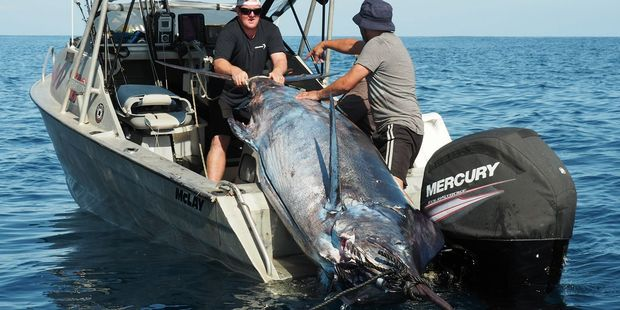 A 466kg blue marlin was hauled in off Muriwai.