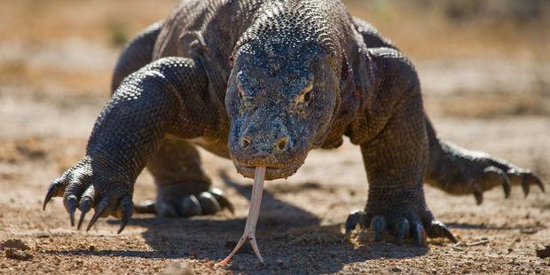 A komodo dragon. Photo / 123RF
