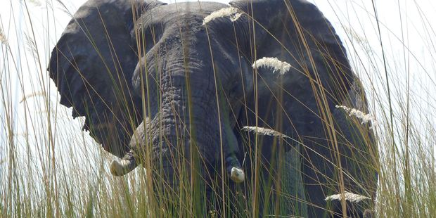 An elephant, in Botswana's Okavango Delta, allowed viewers a close approach via a boat drifting quietly through tall grass. Photo / AP