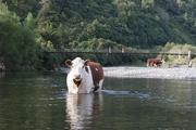 A herd of cows take a cooling dip in the Ohau River near Levin. PHOTO / ASHLEIGH COLLIS