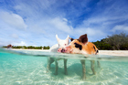 More than half a dozen of the famous swimming pigs were found dead at Big Major Cay in the Bahamas. Photo / Getty Images