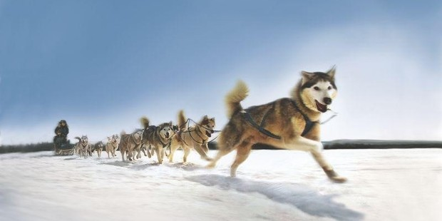 Around 2000 dogs participate in sled dog race in Alaska