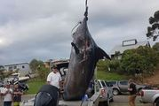 A 466kg blue marlin was hauled in off Muriwai.