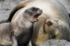 New Zealand sea lion are a  critically-endangered species. Photo / Niwa