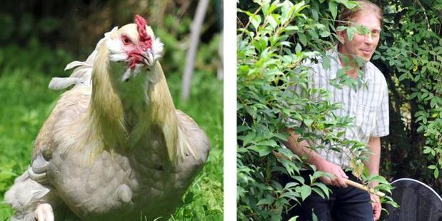 Alex Kerr searches for Henry the rooster in Glen Rd yesterday. Photo / Christine O'Connor