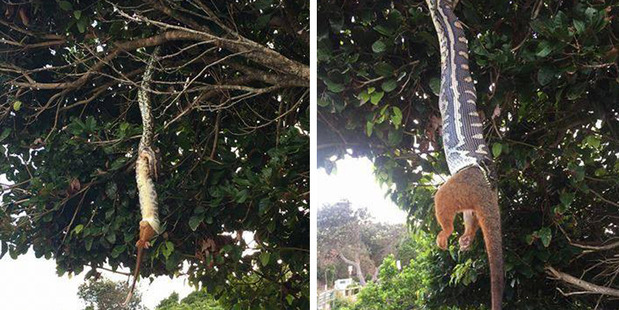 Python stuns crowds in Byron Bay by eating a possum whole. Photon/ Simone and Michelle Hunjak