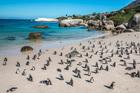 Boulders Beach, Cape Town. Photo / 123RF