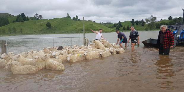 Neighbours pitch in to help save the lambs. Photo / Mike Tahu