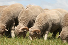 New Zealand scientists have discovered the secret to curly hair by studying merino sheep. Photo / File