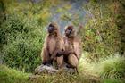 One of Tracey Scott's winning photos - 'Juvenile Therpithecus Gelada'. Photo/Tracey Scott