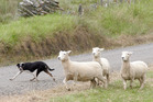 Stu Allen's Tess competes in the short head and yard event at the Broadwood Sheep Dog Trials earlier this month. The final leg in the Northland series will be held at Landcorp Rangiputa on the Whatuwhiwhi Peninsula this Friday and Saturday.