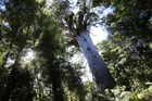 Fly-overs have found 450 sites potentially infected with kauri dieback disease - but none were in Northland's Waipoua Forest, home to the famous Tane Mahuta. Photo / File