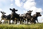 Mycoplasma bovis cases are rising in the South Island.