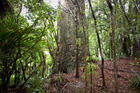 Kauri on Clark Bush Track in the Waitakere Ranges. Vehicle counts outside the park indicated a high number of visitors this summer despite a rahui being in place since early December. Photo /  Michael Craig