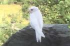 A rare white swallow has taken up residence in the garden of Whangarei resident Bushra Smith.