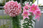 Mutated Sorbonne Oriental Lily (left) and the standard bloom at right.