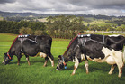 Cows carry equipment measuring their greenhouse gas emissions.