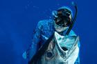 Clarke Gayford spearfishes a dogtooth tuna. Photo / Mike Bahana