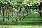 ANZ bank sees potential for more kiwifruit orchards in Northland. Picture/Suppled.