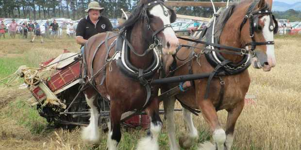 Steve Muggeridge's horses will be harvesting wheat the way it was done 100 years ago. Photo / Supplied
