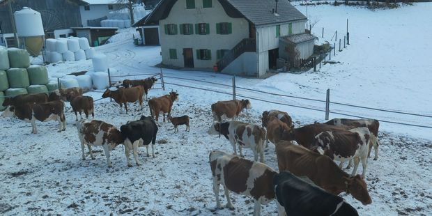 Plump dairy cows outside weathered wooden chalets