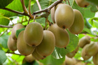 Potential for SunGold kiwifruit orchard development in Northland is expected to increase the region's export earnings.