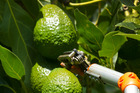 NZ has started exporting avocados to China. Picture/NZ Herald.