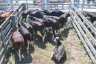 Sinclair Bros received $590/head for these white-faced heifers.