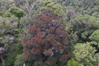 A northern rata in flower in Otangaroa Forest. Grey branches on the rata and neighbouring trees are due to possum attack but flowering shows the rata is coming back to life. Photo / Toby Ricketts
