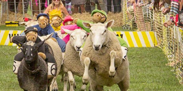 The popular sheep racing drew a big crowd of spectators.Photo / Joanne Bryant