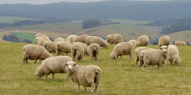 Sheep graze beside the Beaumont highway near Tuapeka West.