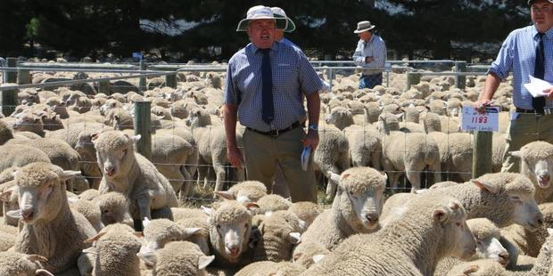 PGG Wrightson Mid Canterbury area manager Greg Cook auctions a yarding of ram lambs at Castle Ridge Station.