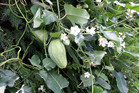 Moth plant is invasive in New Zealand and can heavily infest kiwifruit orchard shelter belts.