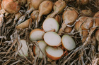 The Seminis global mid-day onion breeding program, supports key markets including Australia, New Zealand, South Africa and Brazil.Photo / Melissa Palmer