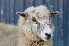 A sheep in the early stages of facial eczema. Photo / File