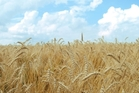 Entries for the United Wheatgrowers wheat competition close 11 May. Photo / File