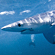A blue shark shows off his battle wounds of a fishing hook. Photo / Photo / Richard Robinson