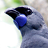 Kokako on Tiritiri Matangi Island. Photo / The Aucklander