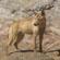 A dingo at Ormiston Gorge. Photo / Greg Dixon