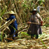 In the many smaller sugarcane fields, the harvest is still done by hand. Mauritius. Photo / Pamela Wade