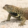 A lava lizard crawls along the sand. Photo / Jim Eagles