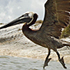 June 23: Pelicans cleaned of oil are released at the Aransas National Wildlife Refuge on the Texas Gulf Coast. Photo / AP