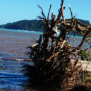 A tree left uprooted after the tsunami. Photo Cherelle Jackson