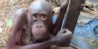 'Saddest orangutan' enjoys new life