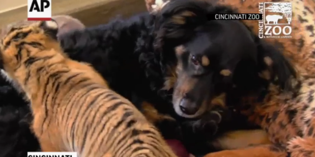 Loading Blakely the Australian shepherd is to be a companion for three Malayan tiger cubs.