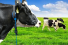 Kiwi cows are able to be monitored in real-time by wearing web-connected collars in a trial by Chinese tech company Huawei. Photo / supplied