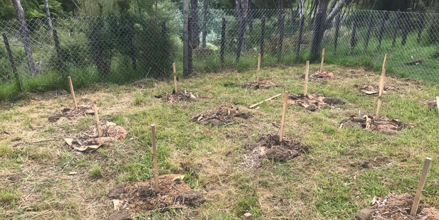 Police ripped out 16 legal hemp plants grown by Willie Kaa at Rangitukia Station on the East Cape. Photo / Supplied