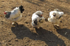 These girls look pretty happy, but are they free range?