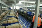 Milking sheep in a sheep-milking shed at the Spring Sheep Milk Company.